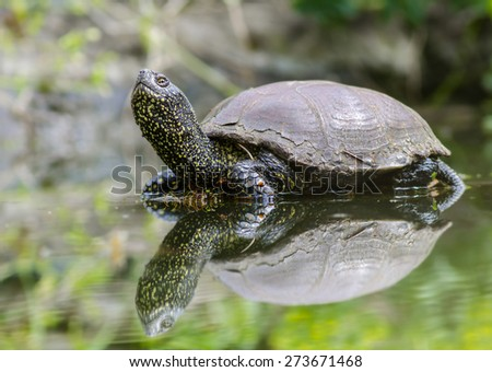 European bog turtle - Emys orbicularis