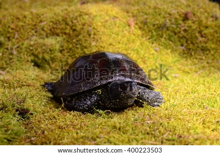 European bog turtle - Emys orbicularis environmental claw