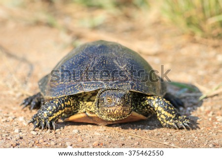 European bog turtle (emys orbicularis) in Danube Delta, Romania