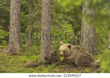 European Brown Bear mother and cubs, Finland, Europe.