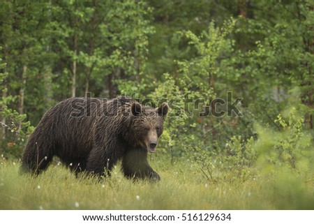 European Brown Bear (Ursus arctos arctos), Finland.