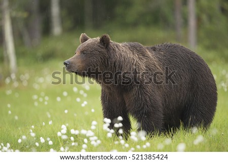 European Brown Bear (Ursus arctos arctos), Finland, June.