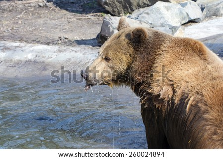 European brown bear (Ursus arctos arctos) in the water