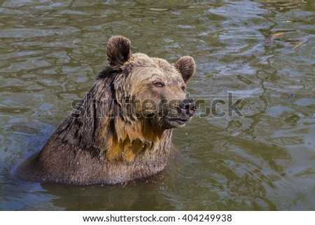 European brown bear (Ursus arctos arctos) in water