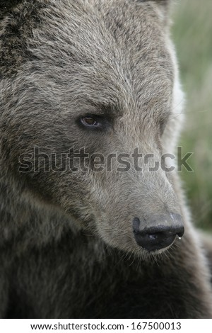 European brown bear, Ursus arctos, close up of head
