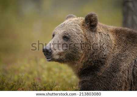 European brown bear, wild in Finland's Boreal forest