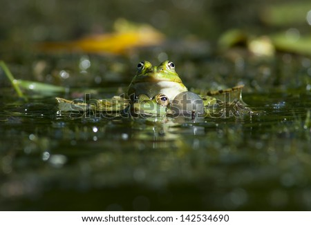 European bullfrog - stock photo