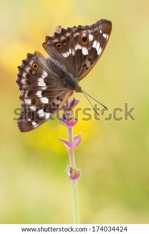 European butterfly on flower - Apatura ilia - stock photo