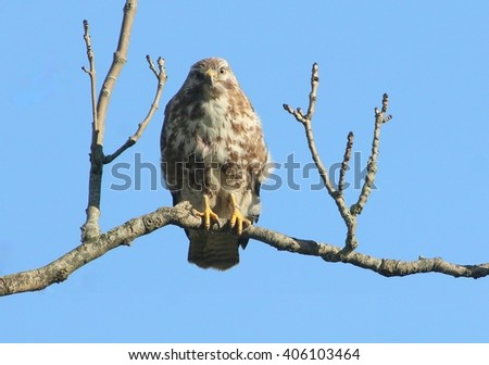 European Buzzard (Buteo buteo) perching in a tree in winter