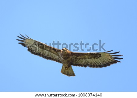 European buzzard flying in front of the sky