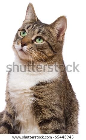 european cat on a white background - stock photo
