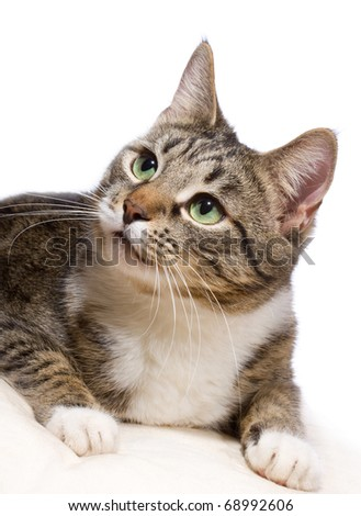 european cat on a white background