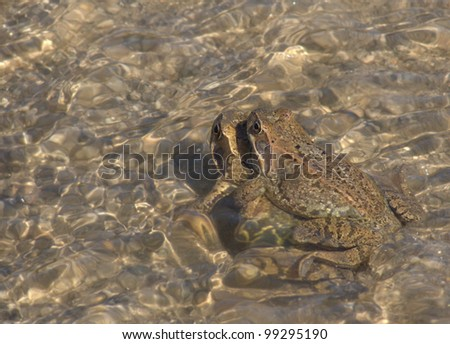European common brown frog, Rana temporaria - stock photo