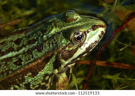European Common Frog, closeup