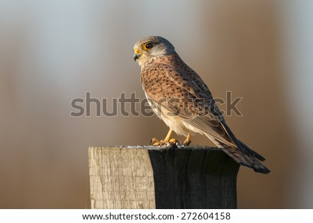 European common Kestrel in beautiful evening light - stock photo