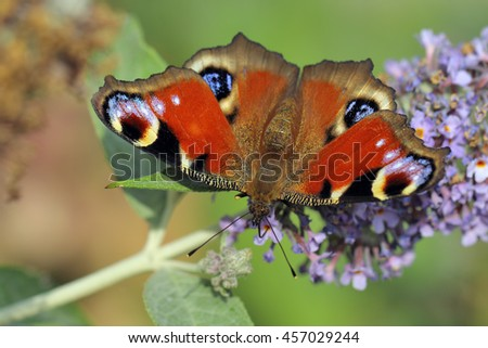 European Common Peacock butterfly (Aglais io, Inachis io)