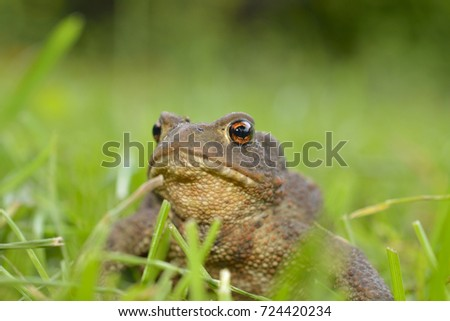 European common toad (Bufo bufo) sitting on the grass.