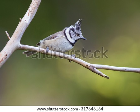 European crested tit. (Lophophanes cristatus). A little cute bird with a crest on its head.
