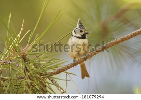 European Crested Tit perched on a tree - stock photo