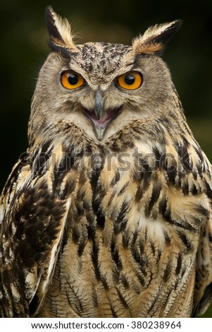 European Eagle Owl (Buba bubo) in the Scottish Highlands