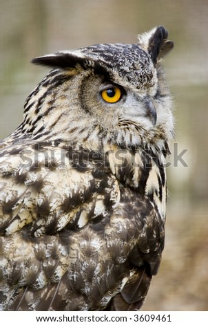 European Eagle Owl (Bubo Bubo Bubo) looking at viewer - portrait orientation