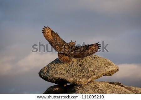 European Eagle Owl (Bubo bubo) landing on a rock, Avila, Spain, Europe - stock photo
