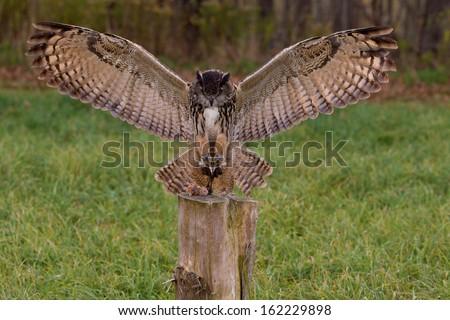 European Eagle Owl landing on prey - stock photo