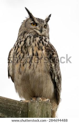 European Eagle Owl on perch with a white background. - stock photo
