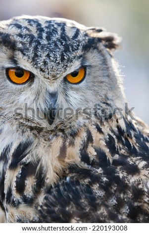 European Eagle Owl There conservation status is Least Concern - stock photo