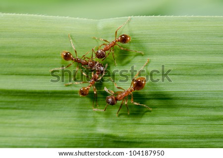 european fire ants meeting - stock photo