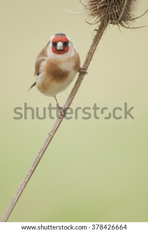 European Goldfinch (Carduelis carduelis) perched on a teasel