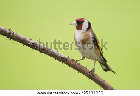 European Goldfinch (Carduelis carduelis) perched on a thorny bramble twig