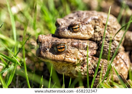 European grass frog copulation close-up