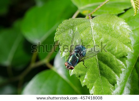 European green blowfly - stock photo