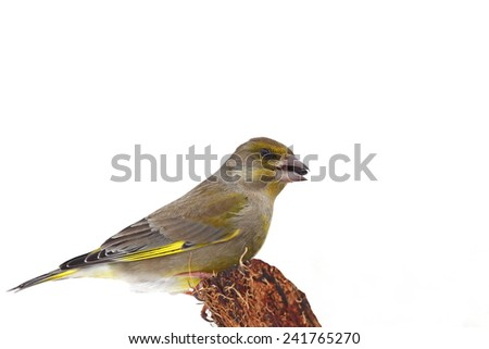 European green finch on a cortex, isolated - stock photo