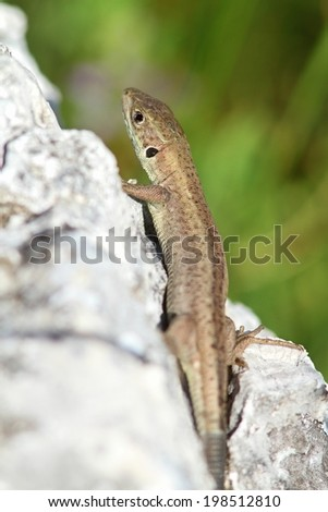 european green  lizard basking on a rock, lacerta viridis juvenile