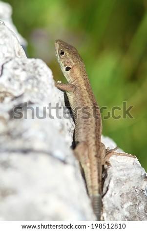 european green  lizard basking on a rock, lacerta viridis juvenile  - stock photo