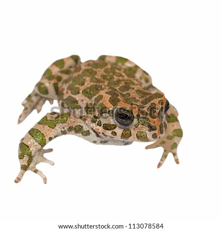 European green toad, Bufo viridis, isolated on white background with clipping path