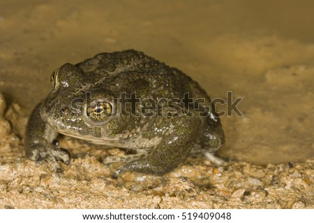 European green toad (Bufo viridis) portrait on a muddy pond. Liguria. Italy.