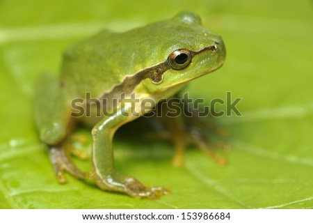 European green tree frog - Hyla arborea - stock photo