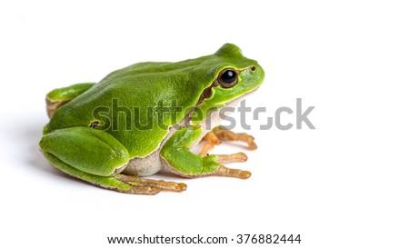 European green tree frog (Hyla arborea formerly Rana arborea) isolated on white - stock photo