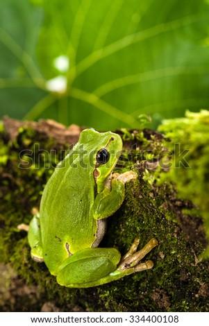 European green tree frog (Hyla arborea formerly Rana arborea) lurking for prey in natural environment - stock photo