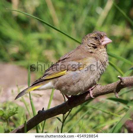 European Greenfinch, also known simply as Greenfinch perched on a bare stick against a noisy green background - stock photo