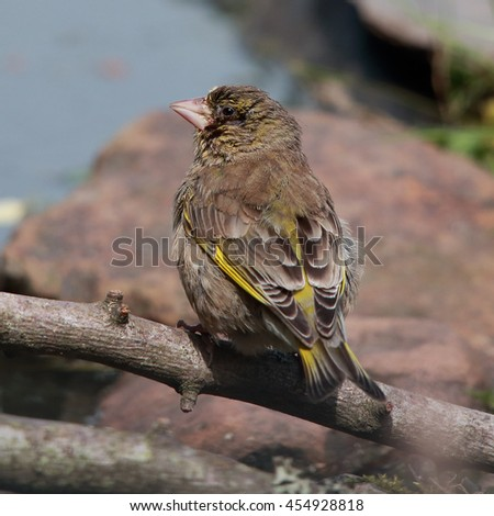 European Greenfinch, also known simply as Greenfinch perched on a bare stick by a pond - stock photo