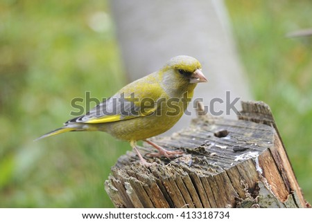European Greenfinch on a tree