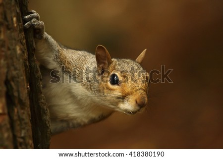 European grey squirrel looking from behind a tree