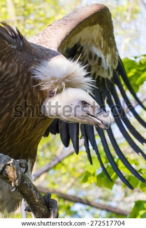 European Griffon vulture (Gyps fulvus) half body - stock photo