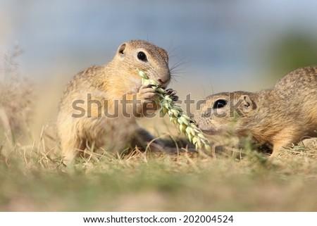 European ground squirrel, lat.Spermophilus citellus - stock photo