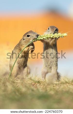 European ground squirrel, lat. Spermophilus citellus - stock photo