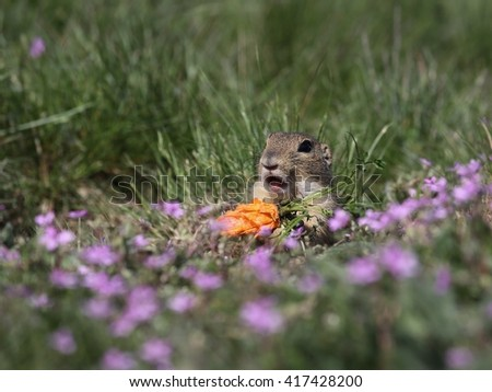 European ground squirrel (Spermophilus citellus) in the flowering steppe landscape. Eating a carrot. Ridiculous and astonished facial expression.